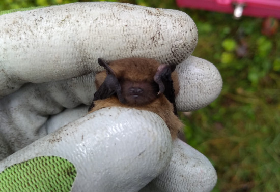 Pipistrelle bat being handled as it is measured