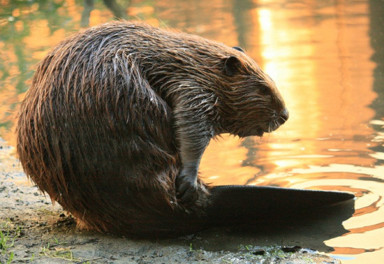 Large brown beaver on shore of loch with tail wrapped around itself