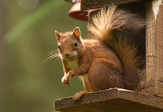 Red squirrel climbing a tree trunk