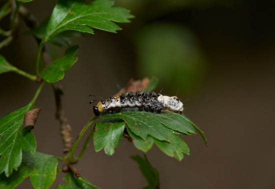 Small black caterpillar sta on lush green leaf