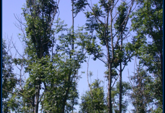 Picture of diseased ash tree tops