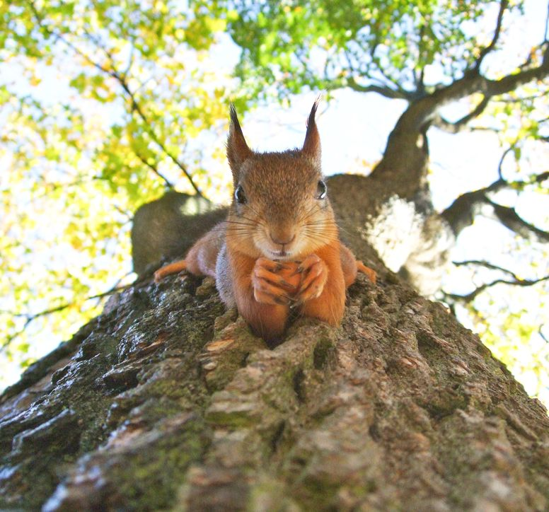 Red squirrel hanging from a tree, staring directly at the camera