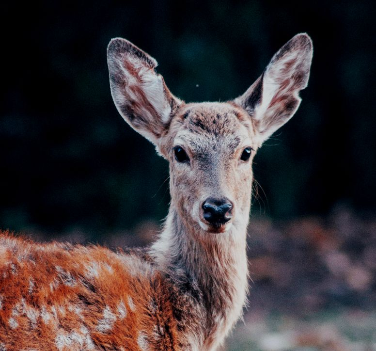 Close-up of a red deer staring towards the camera