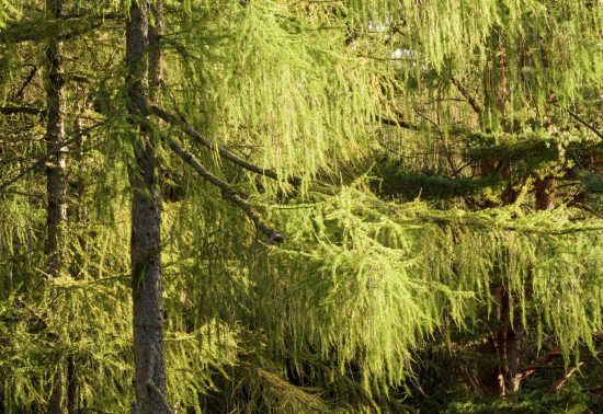 Healthy larch trees