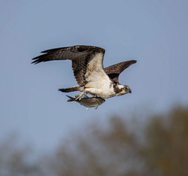 An osprey flying whilst holding a fish in its talons