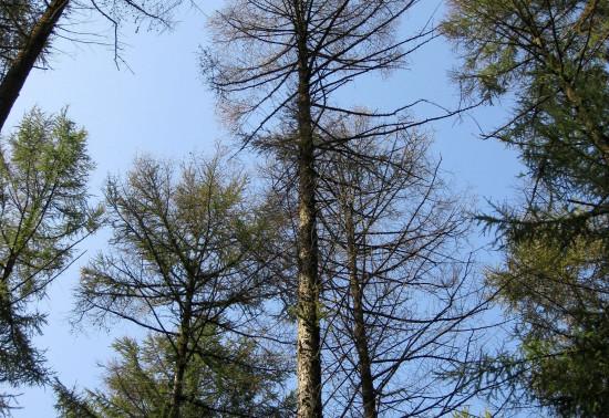 Image showing impact of teh disease on larch trees