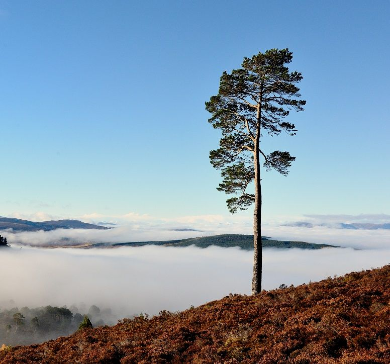 Single pine tree on a hillside, overlooking a cloud-covered glen