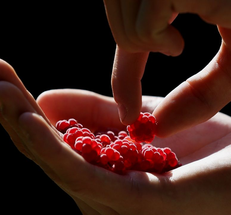 A hand picks up a raspberry from another hand