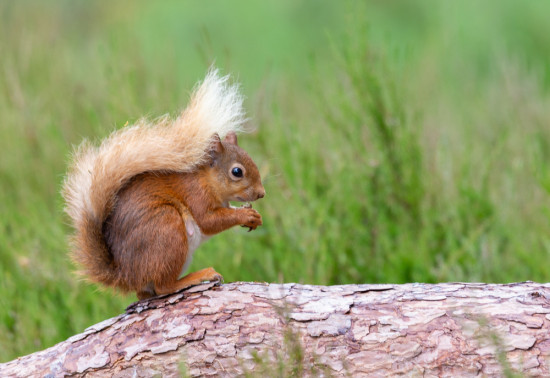 Close up of red squirrel perched on log with tail wrapped up over its back