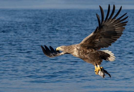 Sea eagle flying over the sea with a fish in its talons