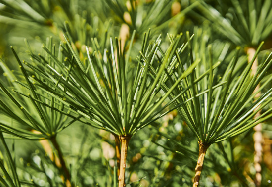 Close up of conifer needles