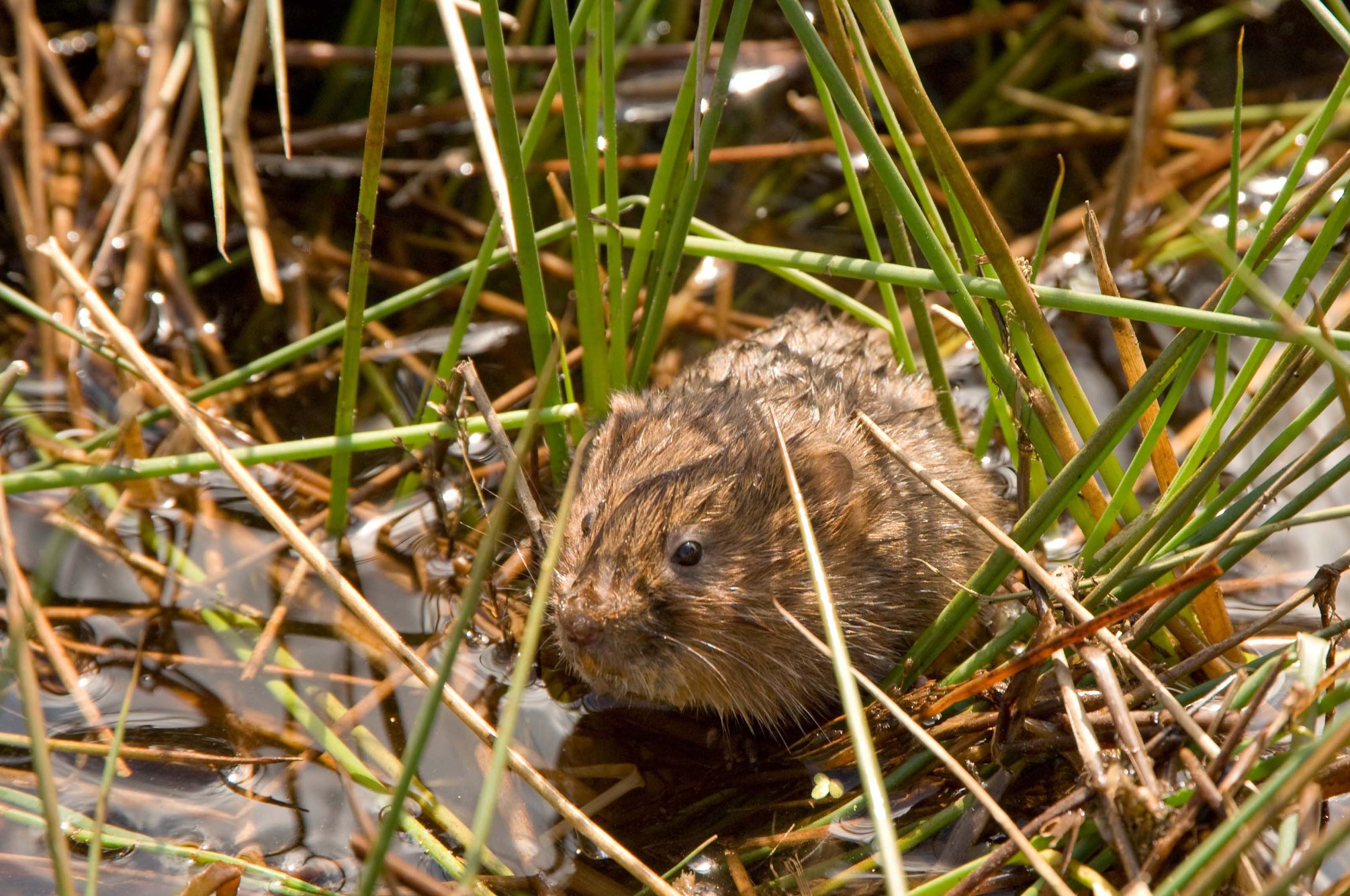 A water vole sitting in long grass.