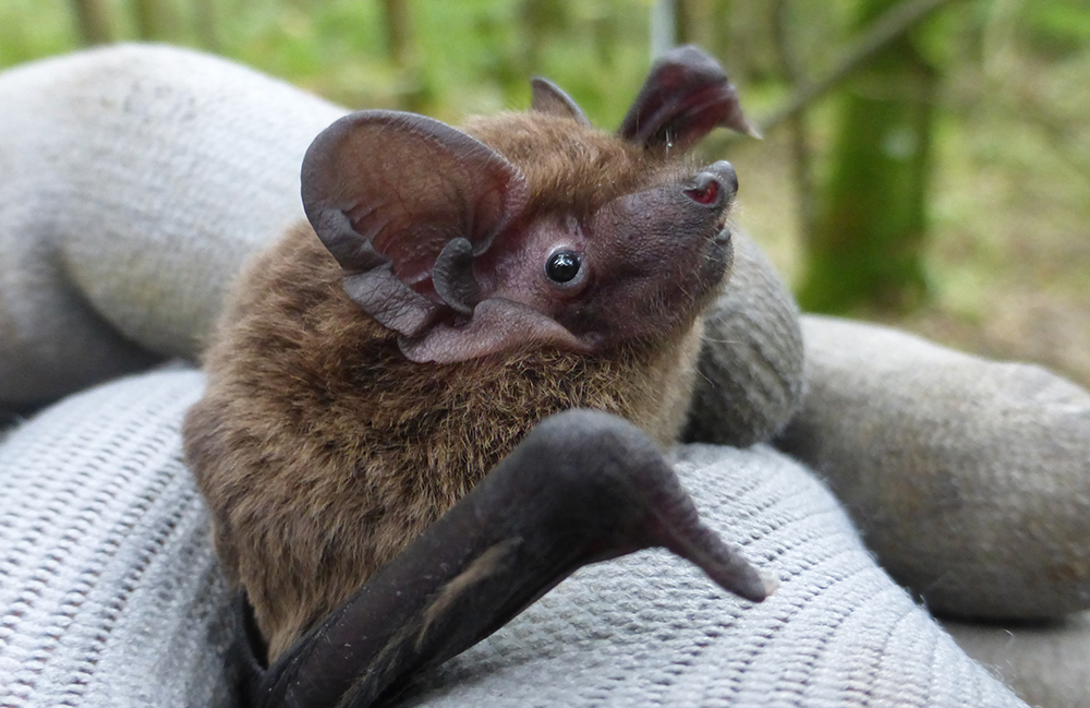 Male Liesler's bat