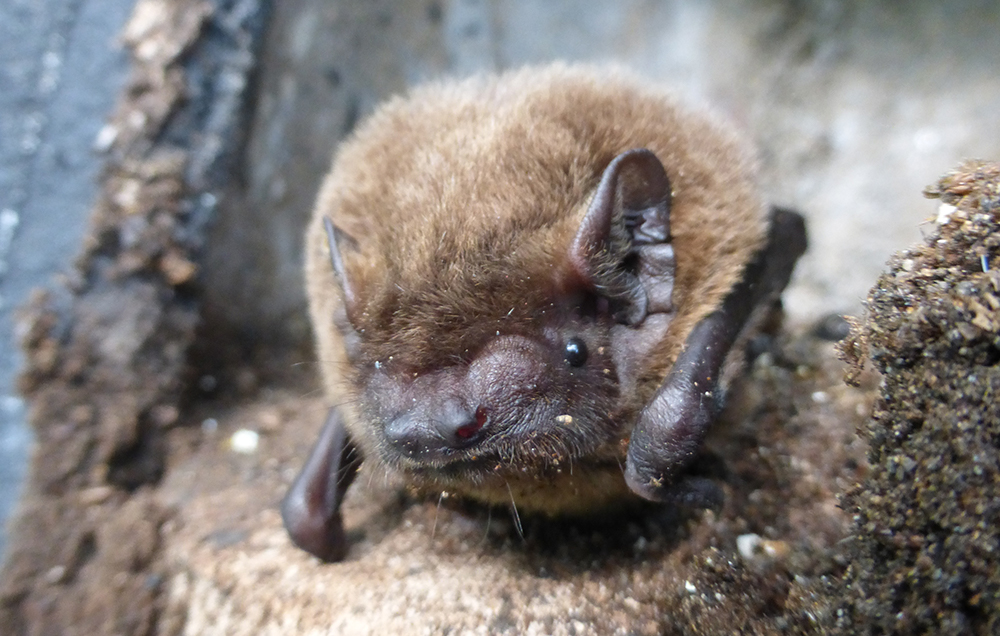 Male Leisler's bat