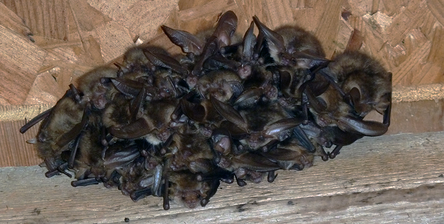 A Brown Long-eared bat roost