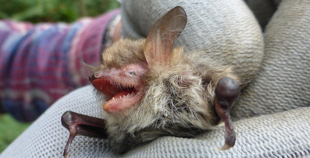 Female Natterer's bat