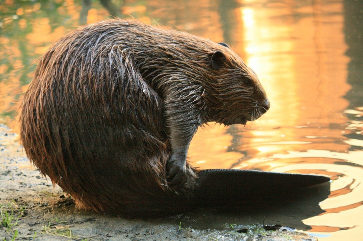 Close up of a beaver sitting at the side of a loch with sun reflecting in the water