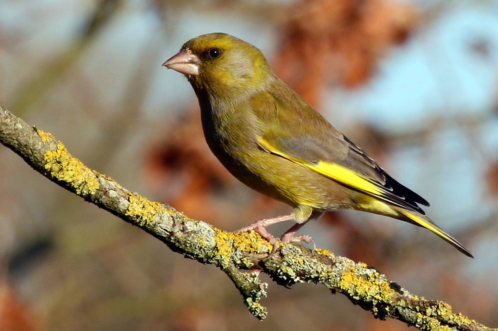Greenfinch bird perched on branch of tree in sunshine