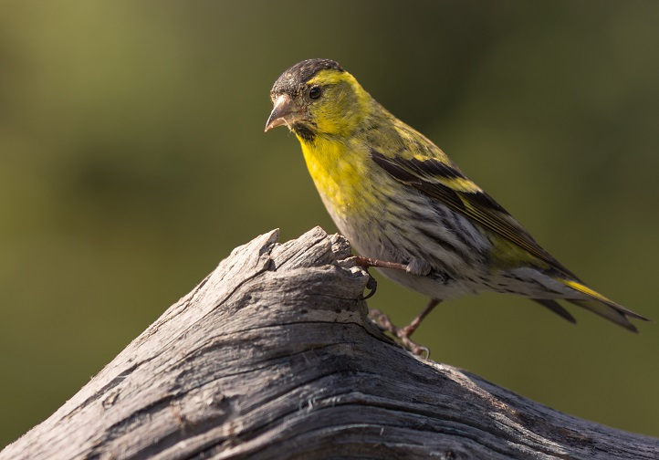 Small yellow and grey bird perched on piece of wood