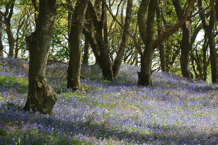 View of tree trunks in a wood with bluebells covering the ground between them