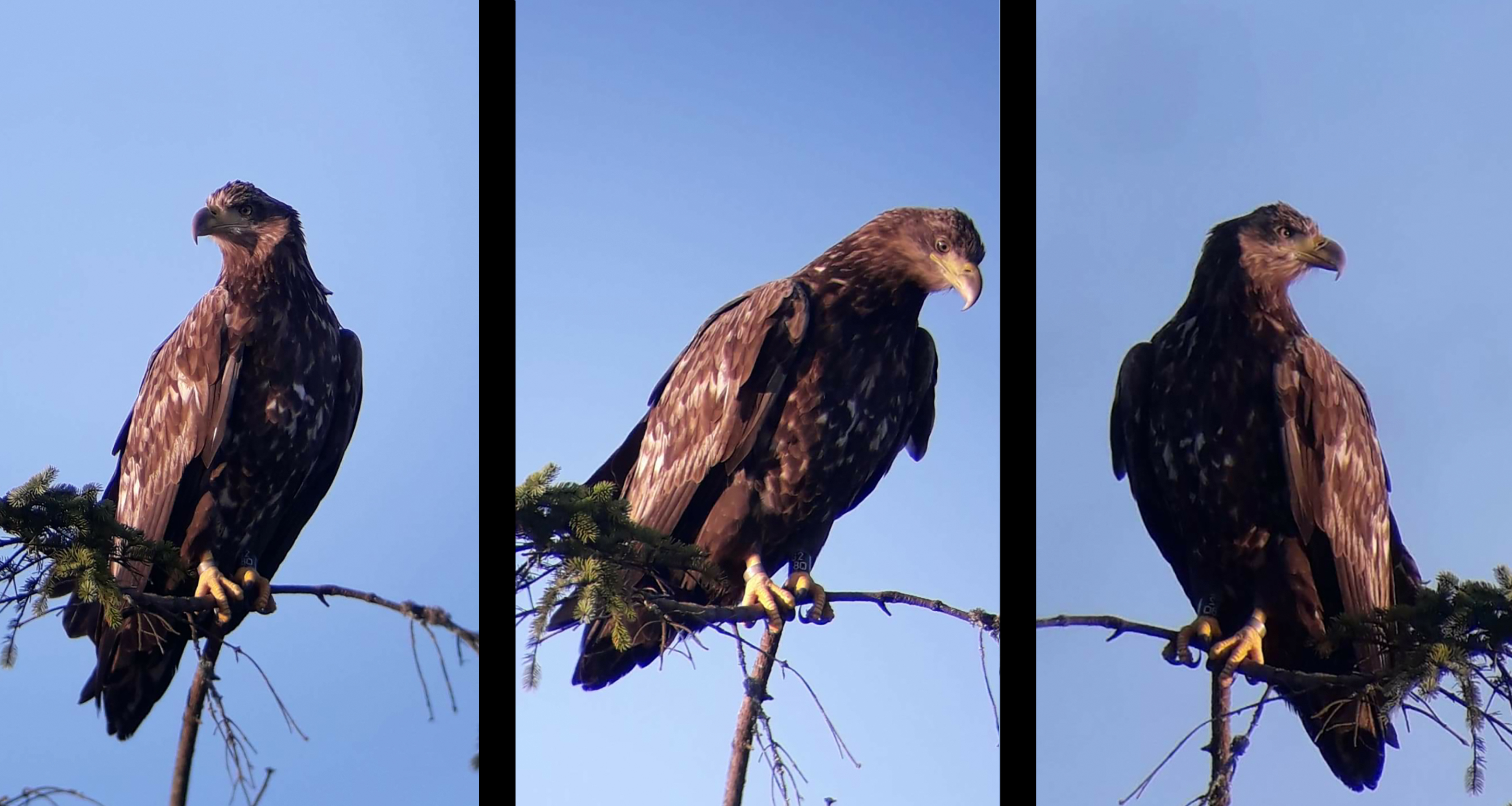 Golden Eagle triptych DavidRobb