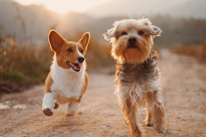 One short-haired white dog and one longer haired brown dog running together along a dirt track towards the camera