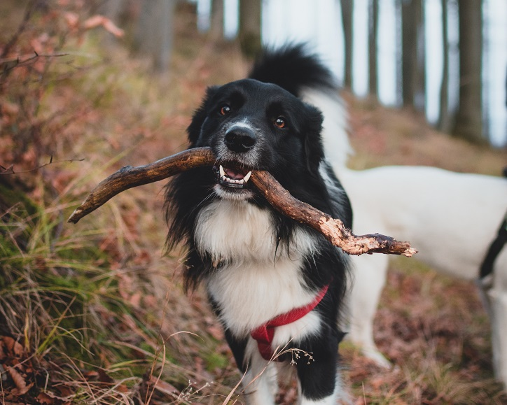 Black and white dog holding a stick in its mouth, looking at the camera