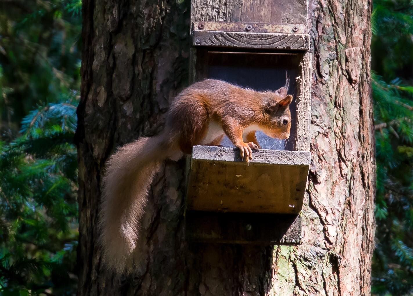 Red squirrel next to a feeder box