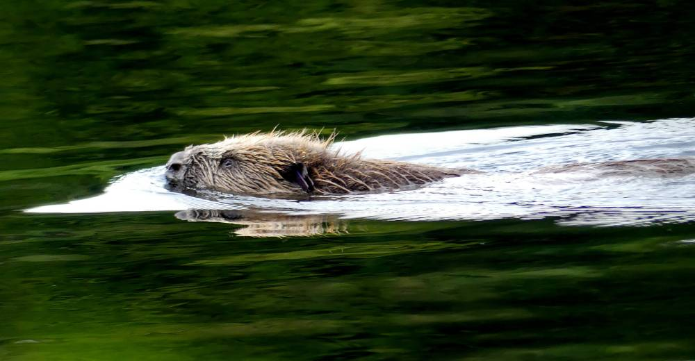 Bjornar the beaver swimming in the loch