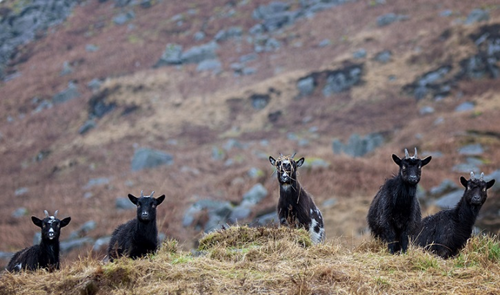 wild goats mbwphotography