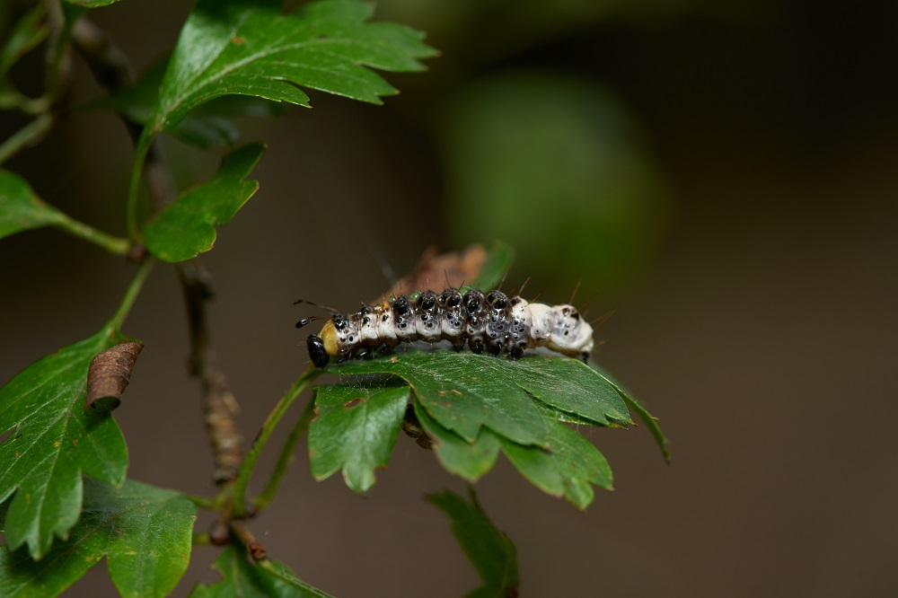 Alder Moth larva, spotted in Dean Plantation, Fife
