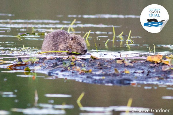 A beaver in murky water coming to a small island of mud