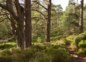 Pine forest with path running through it