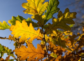 Multi-coloured oak leaves