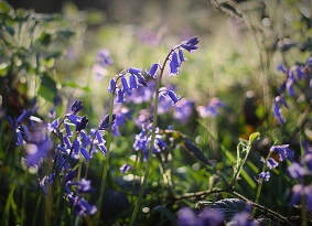 A close up photo of some bluebells in the sun