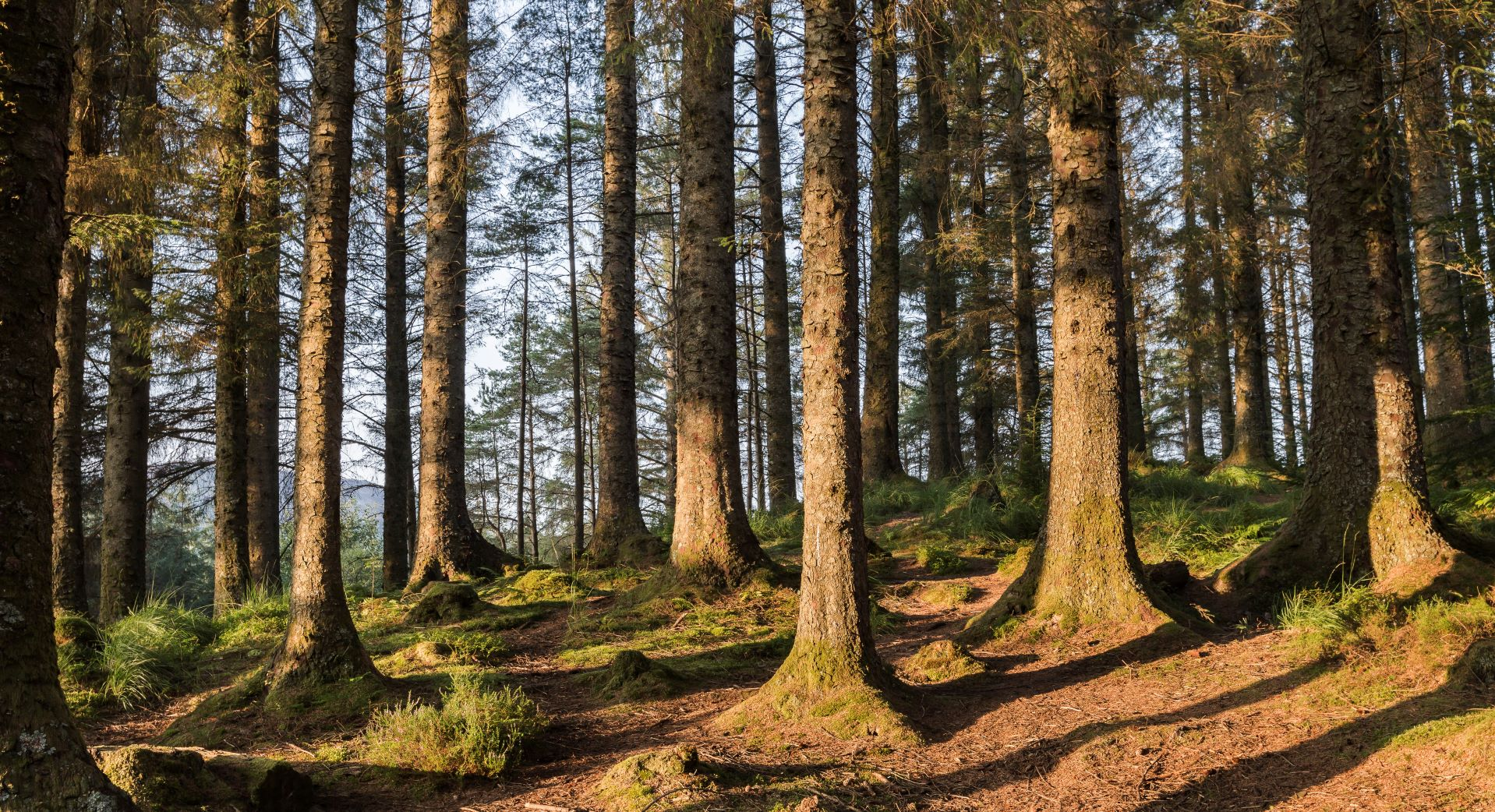A group of coniferous trees in Ardcastle forest.