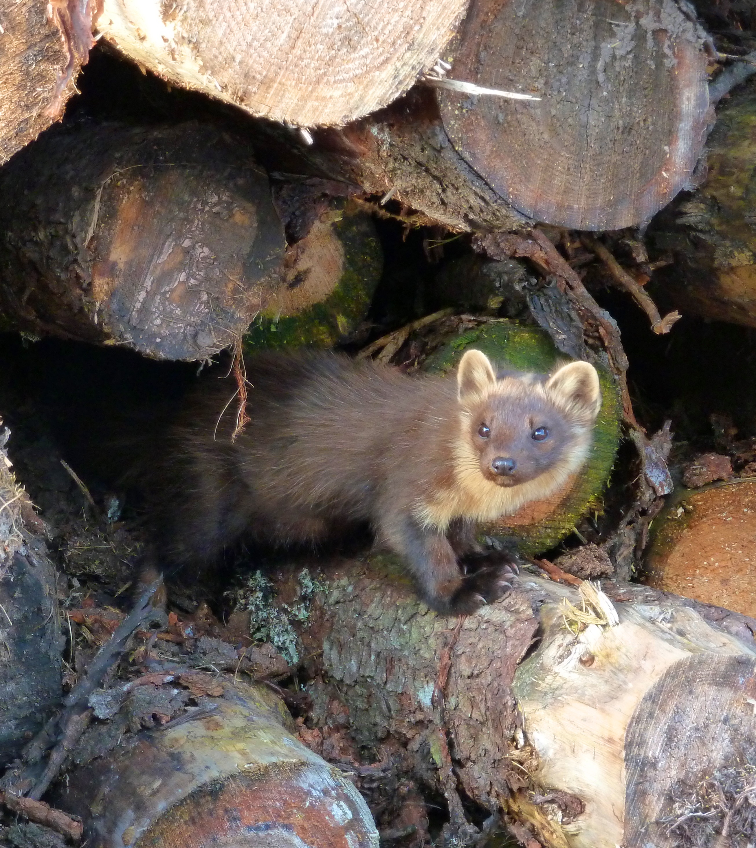 Pine Marten in log stack Raemore Nth Highlands