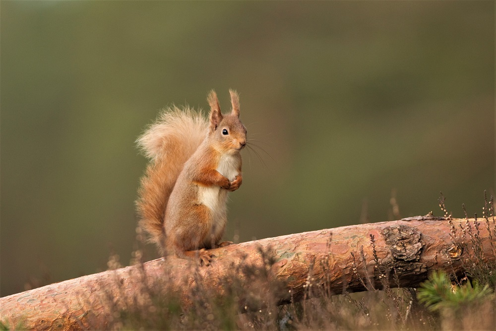 Red squirrel on a tree branch