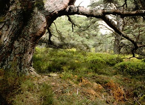 Pine tree and fern in Black Wood of Rannoch