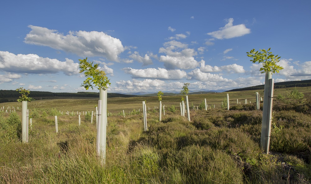 Newly planted trees on an open hillside