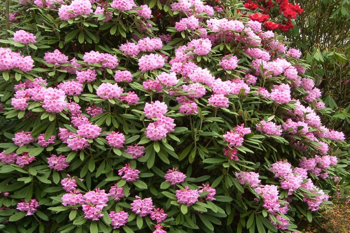 Rhododendrons - by Sandy Stevenson/Flickr