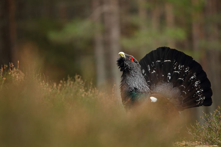 Capercaillie-copyright-Luke-Massey-2020Vision