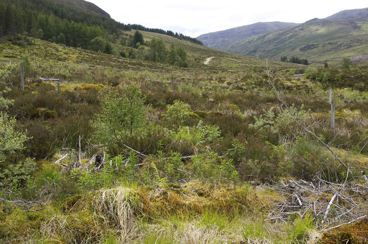 Site at Glen Affric in 2011 as trees and plants overtake the decaying deadwood