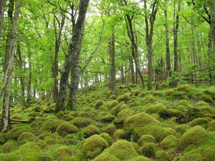Moss covered boulders under mature oakwood in Argyll