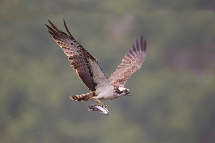 Osprey flying while carrying a fish