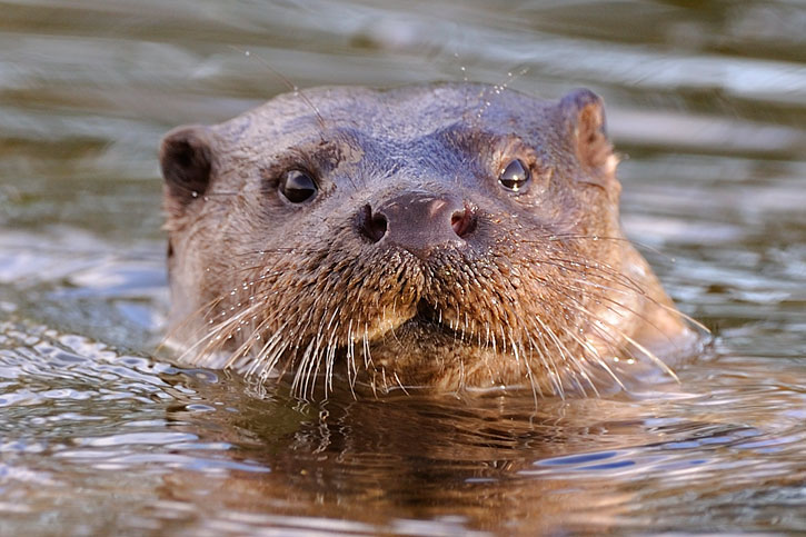 Otter (Copyright: Andy Rouse/2020Vision)