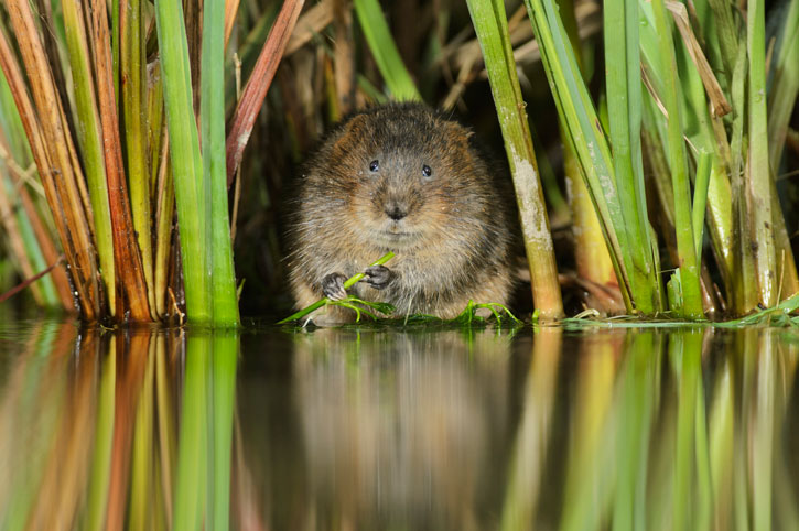 Water-vole-copyright-Terry-Whittaker-2020VISION