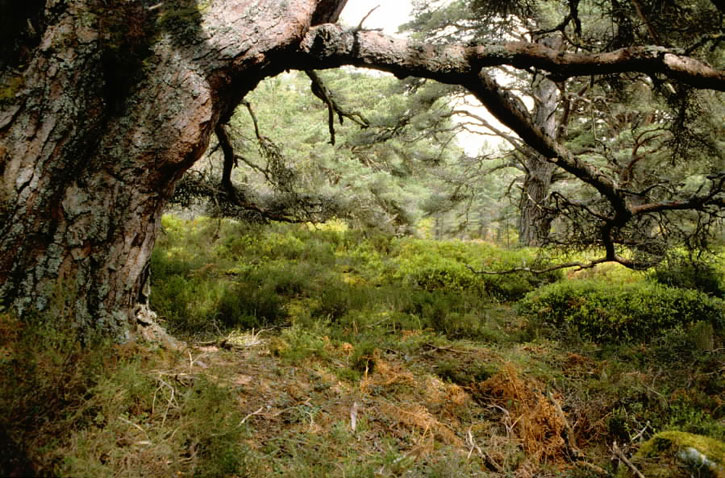 Pine tree and ferns in the Black Wood of Rannoch