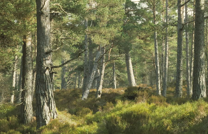Pine trees in the Black Wood of Rannoch