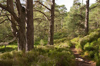 caledonian pine forest